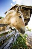 Norwegian Fjord Horse Royalty Free Stock Image