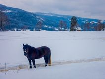 A Norwegian Fjord horse gallops in beautiful winter landscape in Norway.  Stock Photography