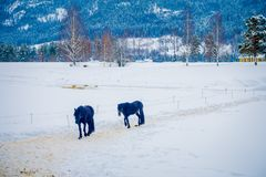 A Norwegian Fjord horse gallops in beautiful winter landscape in Norway.  Stock Image