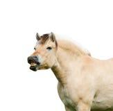 Norwegian fjord horse.isolated Royalty Free Stock Photo
