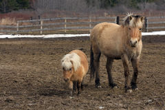 Norwegian fjord horse and miniature horse Stock Image