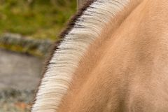 Distinctive markings and mane of Fjord Horse. Norwegian Fjord horse in Norway has very distinctive Dun color and black and white mane with dorsal stripe Stock Images
