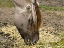 Distinctive markings and mane of Fjord Horse. Norwegian Fjord horse in Norway has very distinctive Dun color and black and white mane with dorsal stripe Royalty Free Stock Image
