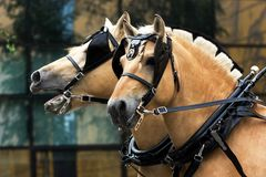 Norwegian fjord males. Two norvegian fjord males in blinkers staying outdoor stock image