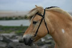 Norwegian fjord at sea. A portrait of a norwegian fjord horse at the sea Royalty Free Stock Photo