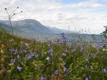 Norwegian fjord seen from a flowery meadow Royalty Free Stock Images