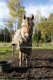 Norwegian Fjording. Equus ferus caballus, Norwegian Fjording Royalty Free Stock Photo