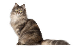 Norwegian Forest Cat, 1 and a half years old. Sitting in front of white background stock image