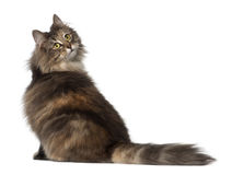 Norwegian Forest Cat, 1 and a half years old. Sitting against white background stock images