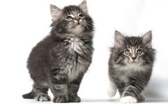 Norwegian forest cat. Breed pets stock image