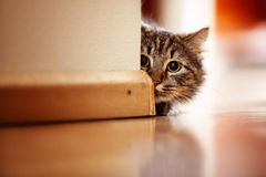 Norwegian Forest Cat Stock Photography
