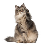 Norwegian Forest Cat. 1 and a half years old, sitting in front of white background stock photos