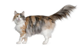 Norwegian Forest Cat, 3 years old. Standing in front of white background royalty free stock images