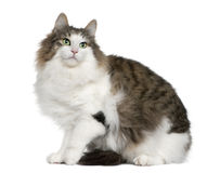 Norwegian Forest Cat, 4 years old. Sitting in front of white background stock photos