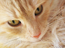 Norwegian forest Cat. The face of a red-tabby haired norwegian forest Cat royalty free stock photo
