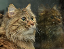 Norwegian forest cat Stock Images