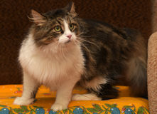 Norwegian forest cat Stock Image