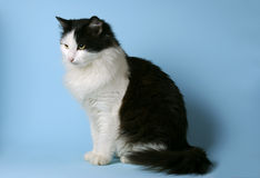 Norwegian Forest Cat. Black and white, sitting, looking sidewards, on a blue background Stock Photos