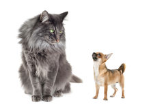 Norwegian Forest Cat and a Chihuahua dog. In front of a white background royalty free stock photo