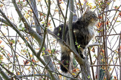 Norwegian Forest Cat is climbed a tree Royalty Free Stock Photos