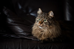 Norwegian Forest Cat on Couch Stock Image
