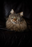 Norwegian Forest Cat on Couch Royalty Free Stock Photo