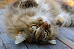 Norwegian Forest Cat with cuddly look. Stock Images