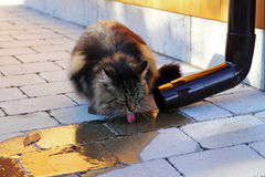 Norwegian forest cat drinking rainwater from a rain drain Royalty Free Stock Photo