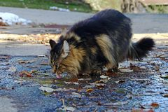 A Norwegian Forest Cat drinks from a puddle of rain Stock Photography