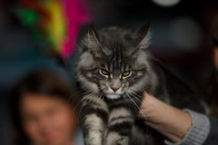 Norwegian Forest Cat. During an exhibition Royalty Free Stock Photo