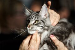Norwegian Forest Cat. During an exhibition Royalty Free Stock Images