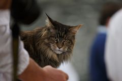Norwegian Forest Cat. During an exhibition Royalty Free Stock Photography