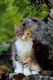 Norwegian forest cat female kitten sitting on a stone. Norwegian forest cat female kitten sits on a stone, it`s summer stock photography