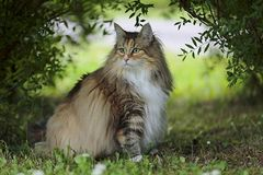 Norwegian forest cat female sits under the bushes. Tabby Norwegian forest cat female with a alert expression sits under bushes royalty free stock image