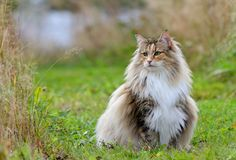Norwegian forest cat female in meadow with messy coat. Norwegian forest cat female sitting and looking for prey. Her coat is a bit messy stock image