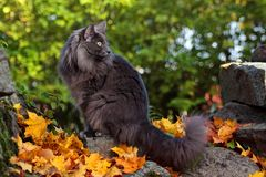 Blue beautiful Norwegian forest cat female. Norwegian forest cat female sitting on a stone in garden royalty free stock photo