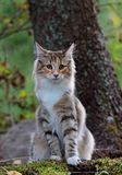 Young norwegian forest cat female sitting in forest. Norwegian forest cat female sitting beside a tree in forest royalty free stock image