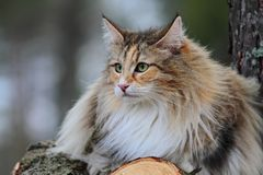 Norwegian forest cat. Female spending time in a forest Royalty Free Stock Photo