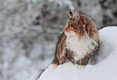 Norwegian forest cat female standing in snow. Norwegian forest cat female standing in deep snow in the middle of winter stock photo
