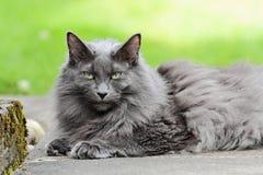 Norwegian forest cat female in the summertime Stock Photos