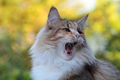 Norwegian forest cat female is tired and yawns. Tired norwegian forest cat female with autumn background is tired and yawning royalty free stock images