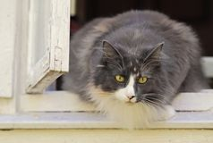 Norwegian forest cat female in a window Royalty Free Stock Photo