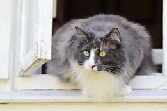 Norwegian forest cat female in a window Royalty Free Stock Image