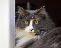 Norwegian forest cat female in a window Stock Photography