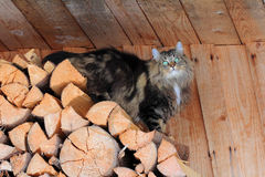 Norwegian forest cat on firewood Royalty Free Stock Photography