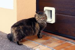 A Norwegian Forest Cat in front of a cat flap.  royalty free stock photos