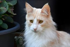Norwegian forest cat in the garden Royalty Free Stock Photo