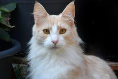 Norwegian forest cat in the garden Stock Photography