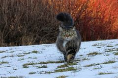 A Norwegian Forest Cat hunting in winter Stock Photography