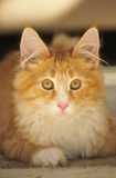 Norwegian Forest cat kitten Royalty Free Stock Photography
